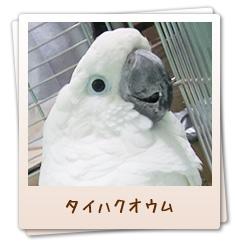 小鳥のセンター病院・池袋:タイハクオウム