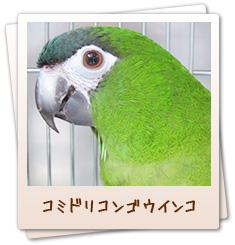 小鳥のセンター病院・池袋:コミドリコンゴウインコ