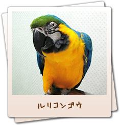 小鳥のセンター病院・池袋:ルリコンゴウ